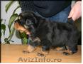 pui rottweiler de vanzare - cu pedigree -